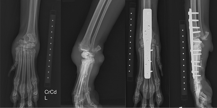 Multi-ligament disruption of the carpus stabilised with pancarpal arthrodesis