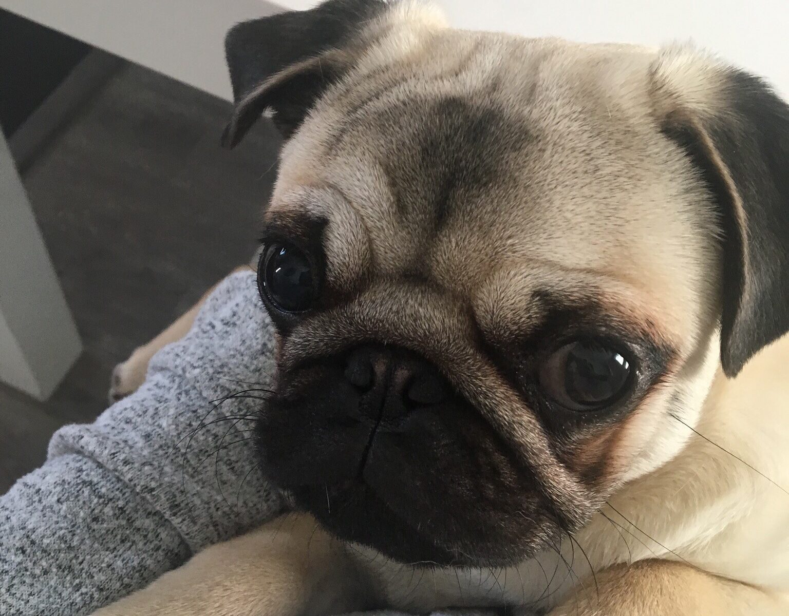 Vets Sew Glad to Ensure Happy Ending to Doug the Pug's Yarn