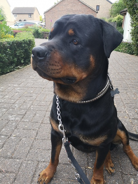 Rottweiler 'Oakey Dokey' Again After Pioneering Ankle Surgery